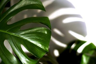 8 Philodendron min